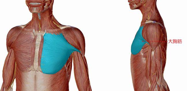 【超初心者の自宅筋トレ講座5】大胸筋の筋トレすればカッコイイ体になる?