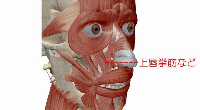 鼻の下が長くなるのは上唇挙筋などの衰えのため