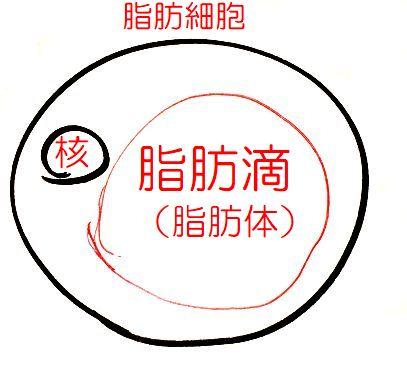 脂肪細胞と脂肪滴(脂肪体)