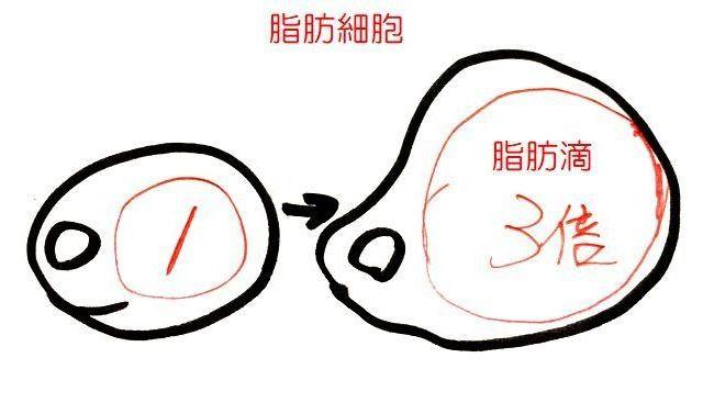 脂肪細胞は脂肪をため込み脂肪滴は3倍まで大きくなる